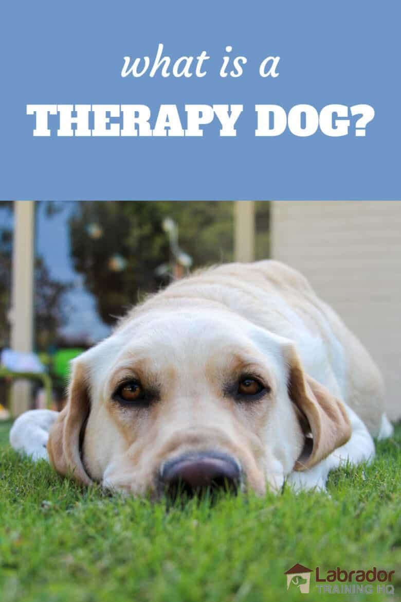 What Is A Therapy Dog? Yellow Labrador Retriever lying in the grass staring into the camera.