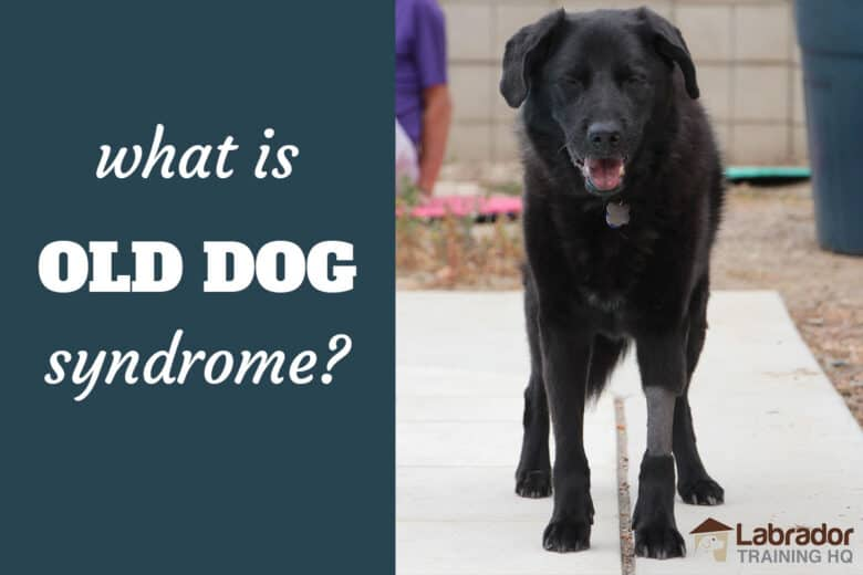 What Is Old Dog Syndrome? - Senior Black Lab Mix dog standing on concrete with eyes partially closed and front left leg shaved.