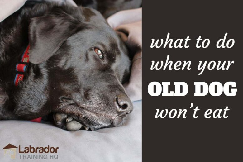 What To Do When Your Old Dog Won't Eat - Old black Labrador Retriever with red color resting on his bed.