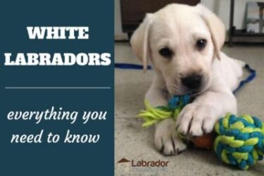 White Labradors - Everything You Need To Know