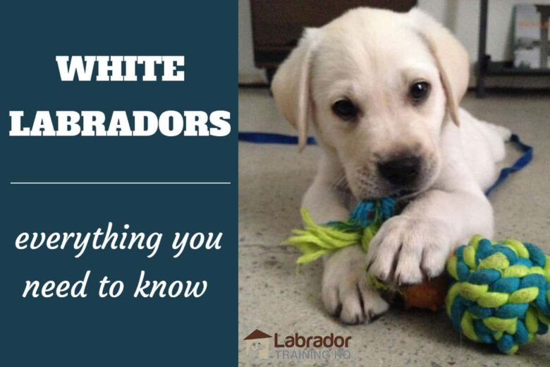 White Labradors - Everything You Need To Know - White Labrador Retriever puppy lying on the floor chewing on his blue green rope toy