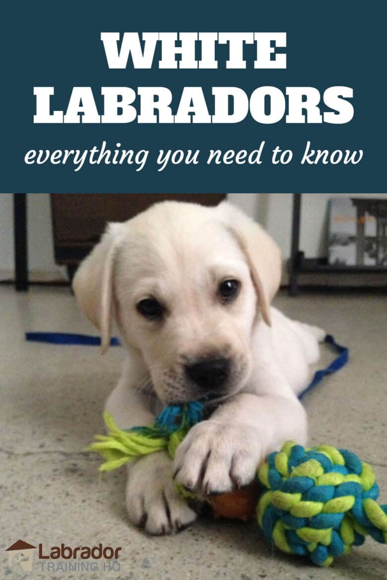 White Labradors - Everything You Need To Know - White Lab puppy chewing on his little rope toy.